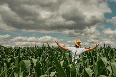 Successful male agronomist farmer with hands raised in the air in cultivated corn field
