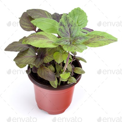 Fresh sweet  basil herbs growing in pot isolated on white background cutout.
