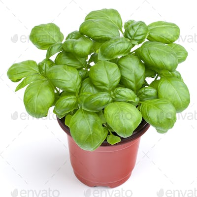 Fresh sweet Genovese basil herbs growing in pot isolated on white background cutout.