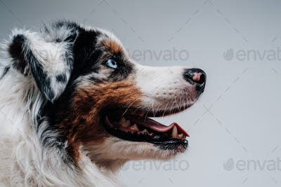 Trained and cute dog poses in white background