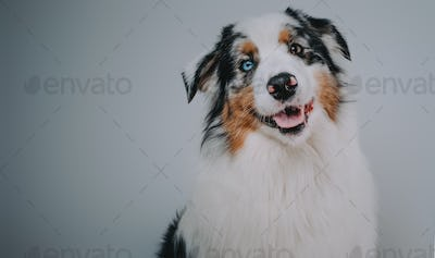 Groomed nad pure dog in white background alone
