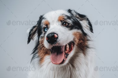 Beautiful pet and human's friend posing in white background