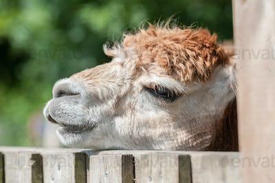 sleepy alpaca
