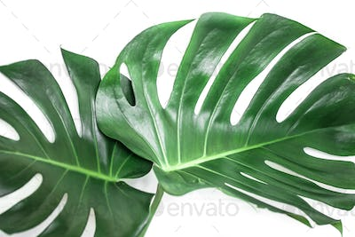 monster leaves on a white background