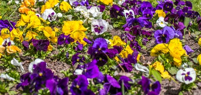 flower bed Pansy