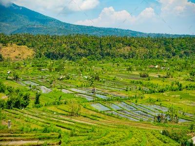 Rice fields on terrace