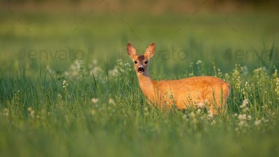 Roe deer fawn looking from flowers and grass in summer sunlight
