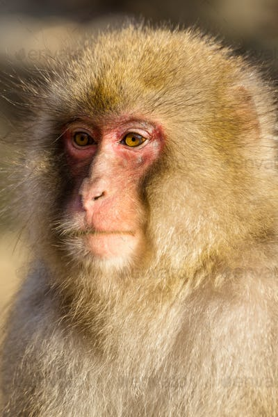 Wild monkey close up