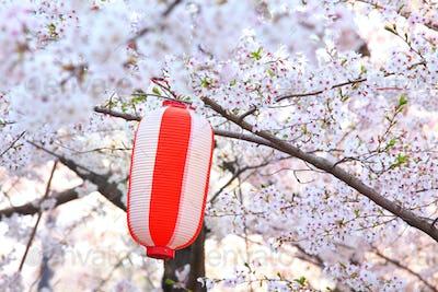 Red lantern and sakura