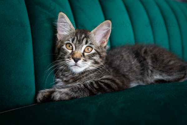 Kitten lying on the green sofa