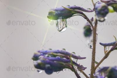 Larkspur flowers, Delphinium elatum