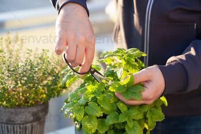 gardener picking lemon balm (melissa) in flowerpot on balcony