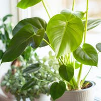 houseplants fittonia, monstera and ficus microcarpa ginseng in white flowerpots on window