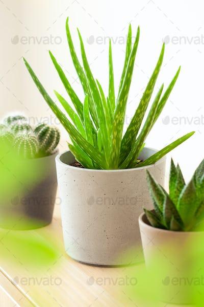green houseplants cactus succulent aloe vera, gasteria duval, parodia warasii