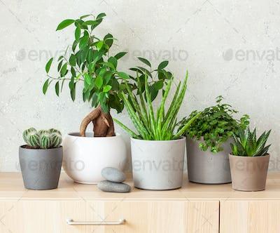 green houseplants cactus succulent aloe vera, pilea depressa, gasteria duval, parodia warasii, ficus