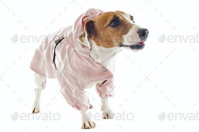 jack russel terrier and raincoat