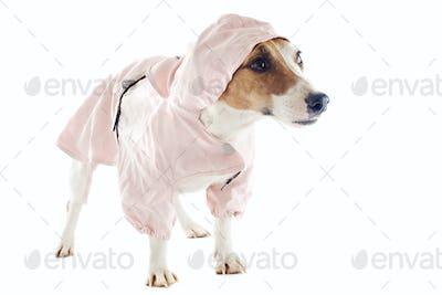 jack russel terrier and raincoat
