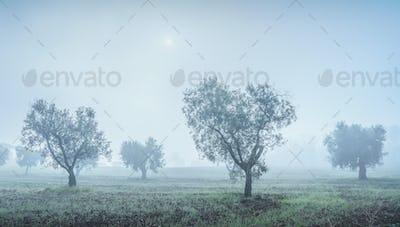 Olive grove in a foggy morning. Bolgheri, Tuscany, Italy