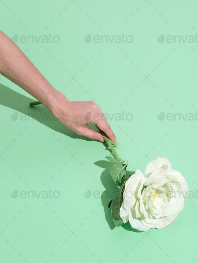 Hand holding white roses minimalist scene. Spring,summer, greeting card concept