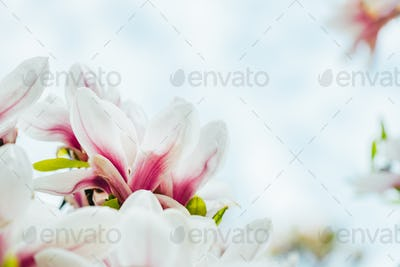 Pink Magnolia Tree with Blooming Flowers