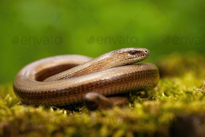 Twisted slowworm basking on a green mossy rock in springtime nature