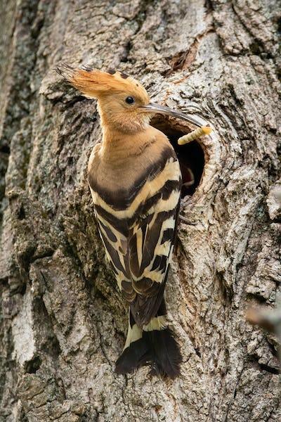 Eurasian hoopoe sitting near entrance of a tree cavity while nesting