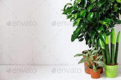 Plant ficus benjamina in a dark brown pot.