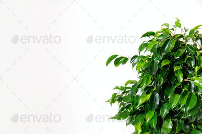 Plant ficus benjamina in a dark brown pot. Weeping fig