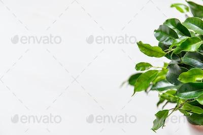 Plant ficus benjamina in a dark brown pot. Weeping fig, benjamin fig, ficus tree.