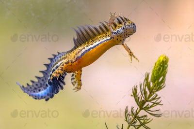 Southern banded newt aquatic animal in natural underwater habitat