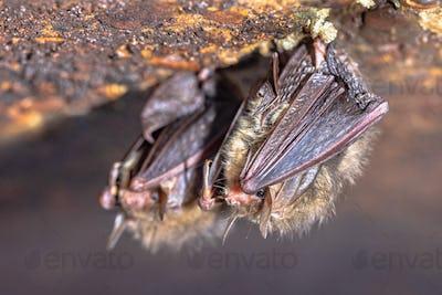 Hibernating long-eared bats in a cold cellar