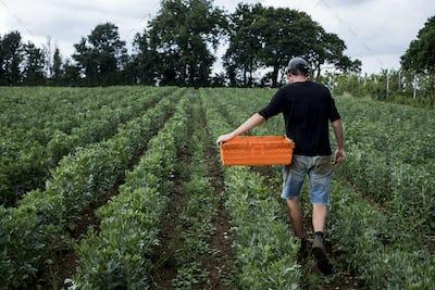 Man walking through a vegetable field, carrying orange plastic crate.