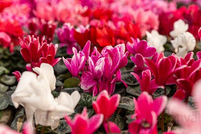 Pink Cyclamen blooming