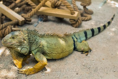 An iguana on a reservation on the island of Mauritius,a Large lizard iguana in a Park on