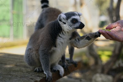 Lemur taking food from man hand