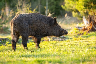 Male wild boar looking aside on a sunny glade in mountains during spring