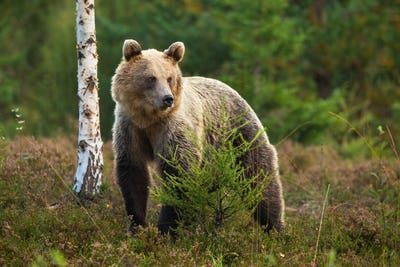Cute brown bear standing behind a small tree in moorland and looking aside