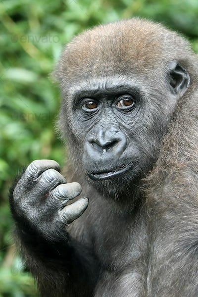 portrait of western lowland gorilla, closeup