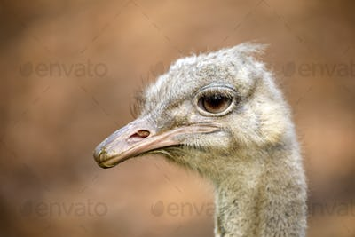 A common Ostrich, close up