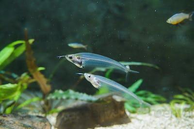kryptopterus bicirrhis or asian glass catfish close-up