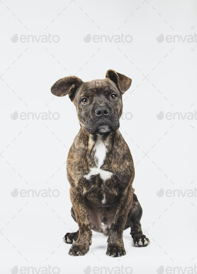 Portrait of a 3 month old american stanford puppy sitting isolated on white background.