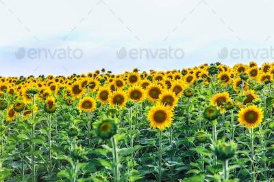 very beautiful field of sunflowers