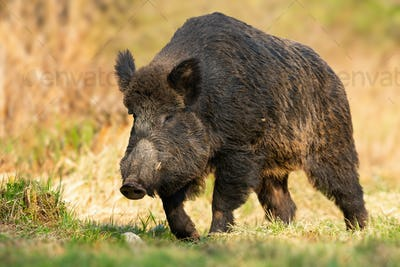 Dangerous wild boar approaching from front on glade in springtime