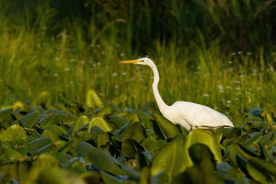 Great egret waiting for fish in wetland in summer sunset