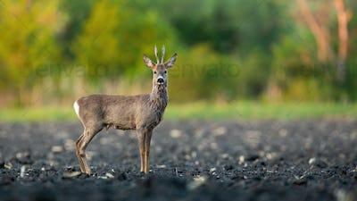 Male roe deer buck standing on a muddy field in spring nature
