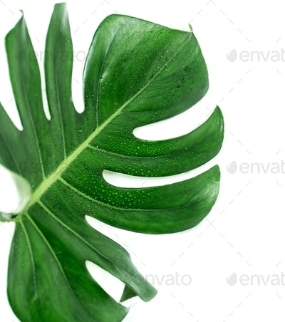green tropical leaf on white background, Monstera plant