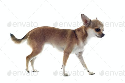 walking chihuahua