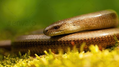 Close-up of deaf adder lying on a mossy ground in spring nature