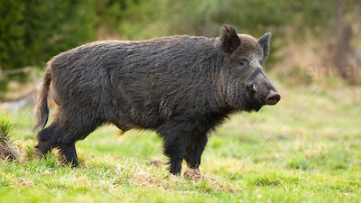 Dangerous wild boar with long tusks standing on green grass in spring forest