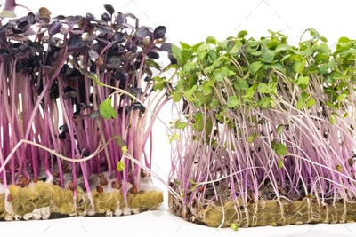 Micro-green seed seedlings on a white isolated background